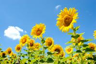 Flower garden and blue sky of sunflower Stock photo [1339337] Sunflower
