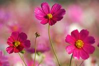 Cosmos flower garden Stock photo [1422208] Cosmos