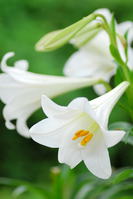 Easter Lily Stock photo [1423466] Yuri