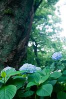 Hydrangea Stock photo [1424550] Hydrangea