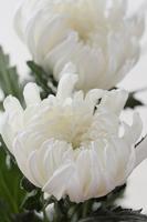 White chrysanthemum of large-flowered Stock photo [1425961] Chrysanthemum