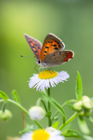 Lycaena phlaeas and fleabane Stock photo [1426231] Insect
