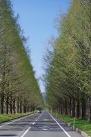 セコイヤ並木道