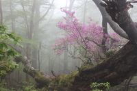 In the morning mist, of Mount Amagi Mitsubatsutsuji Stock photo [1427162] Izu