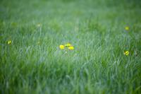 Dandelion blooming in the meadow Stock photo [1427676] Dandelion