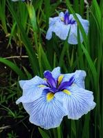 Higo irises Stock photo [1428976] Higo