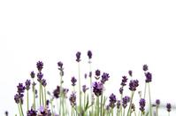 English lavender white background Stock photo [1429427] Lavender