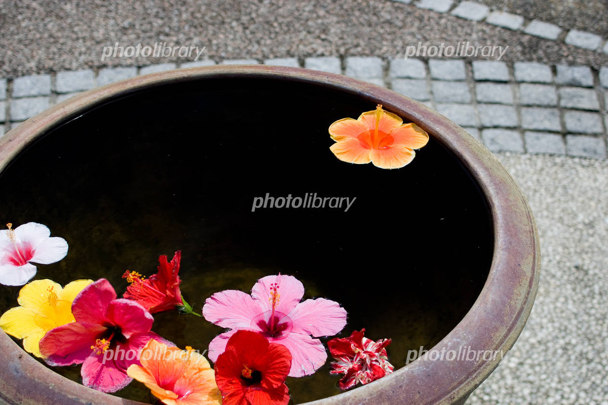 Hibiscus floating in Suibachi Photo