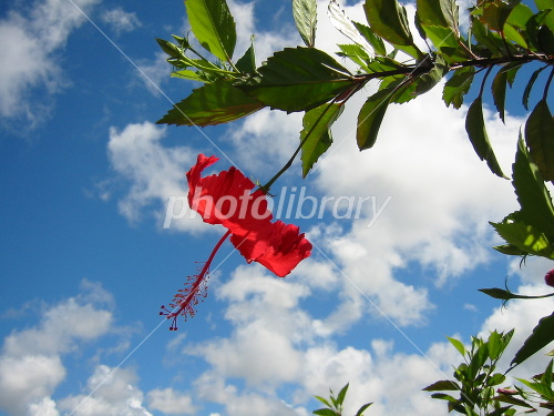Okinawa Shuri Castle Hibiscus Photo