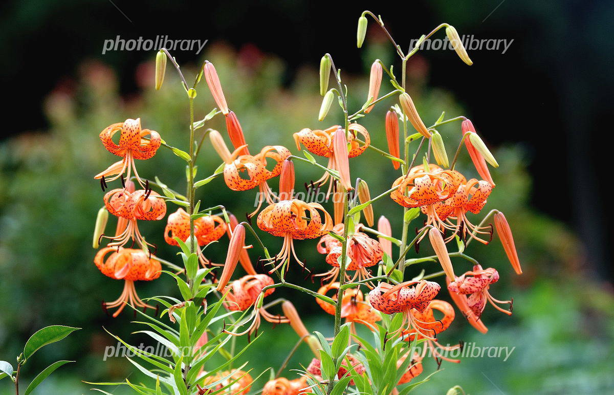 Tiger Lily Photo