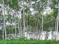 White birch forest Stock photo [1519116] White