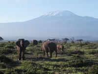 Kilimanjaro and African elephant Stock photo [1520271] Elephant