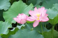 Lotus flowers Stock photo [1521719] Flower