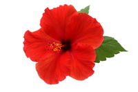 Hibiscus Stock photo [1522449] Hibiscus