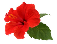 Hibiscus Stock photo [1522455] Hibiscus