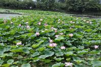 Lotus pond Osawa Stock photo [1522885] Osawa
