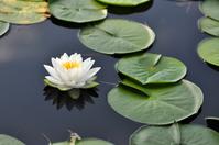Water lilies Stock photo [1523254] Marsh