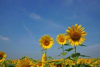 Sunflower and summer sky Stock photo [1526782] Sunflower