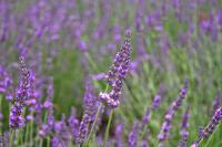Lavender Stock photo [1528639] Lavender