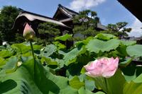 Hana method Kongo Institute of Kyoto lotus Stock photo [1528921] Law