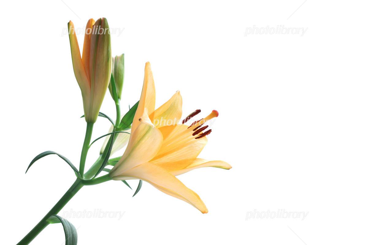 Orange lily of Photo