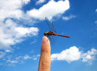 Red Dragonfly that stops in dragonfly finger Stock photo [1623550] Red