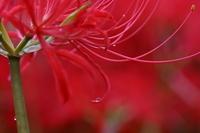 Amaryllis and water droplets Stock photo [1623855] Amaryllis