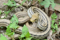 Shimahebi Stock photo [1624708] Snake
