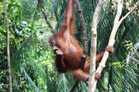 Orangutan Borneo Orangutan Sanctuary Malaysia