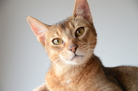 Abyssinian cat Stock photo [1627119] CAT