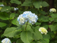 Pale color of hydrangea Stock photo [1629716] Hydrangea