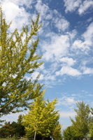 Ginkgo trees and blue sky and clouds Stock photo [1630269] Outside