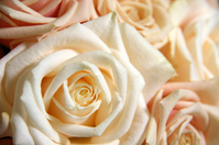Bouquet of calm color of rose Stock photo [1631958] Rose