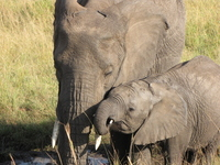 Parent-child wild elephants Stock photo [1632092] Elephant