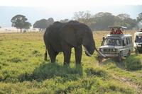 In Masai Mara of Kenya close to the African elephant safari car African