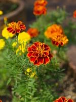 Orange marigold Stock photo [1636310] Marigold