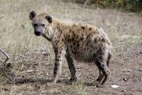 African hyena Hyena