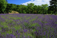 Sapporo lavender fields Stock photo [1638524] Sapporo