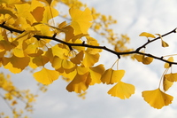 Ginkgo leaves Stock photo [1638553] Ginkgo