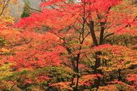 Autumn leaves of Usui Stock photo [1726939] Usui