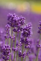 Lavender flower Stock photo [1727240] Lavender