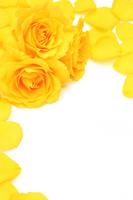 Yellow Roses Stock photo [1727473] Rose