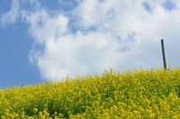 Hill of rape blossoms Stock photo [1728910] Rape