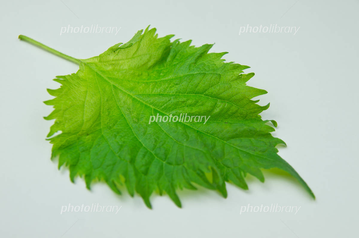 Blue shiso Photo