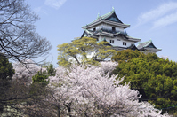 Sakura of Wakayama Castle Stock photo [1803146] Wakayama