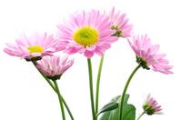 Pink chrysanthemum flowers Stock photo [1804228] Chrysanthemum