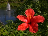 Okinawa hibiscus and fountain Stock photo [1806439] Hibiscus