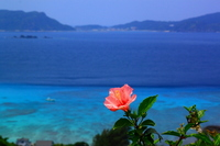 Blue sea background Hibiscus Stock photo [1806871] Okinawa