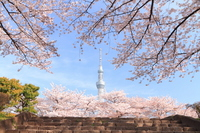 Sakura and Sky Tree Sumida Park Stock photo [1909745] Blue