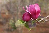 Nishiki magnolia Stock photo [1910830] Nishiki
